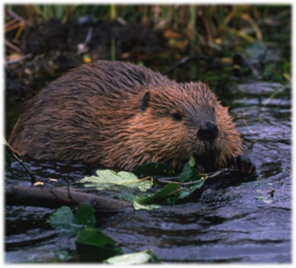 restoration with beavers mid columbia fisheries enhancement group