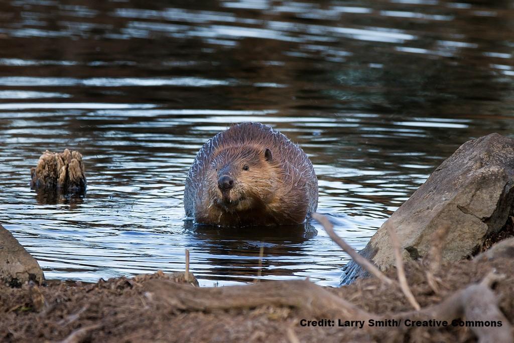 Beaver Restoration Guidebook